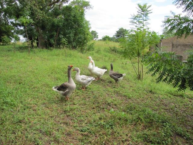 Oies domestiques sources et ressourcessources et ressources for Boulevard du jardin botanique 20